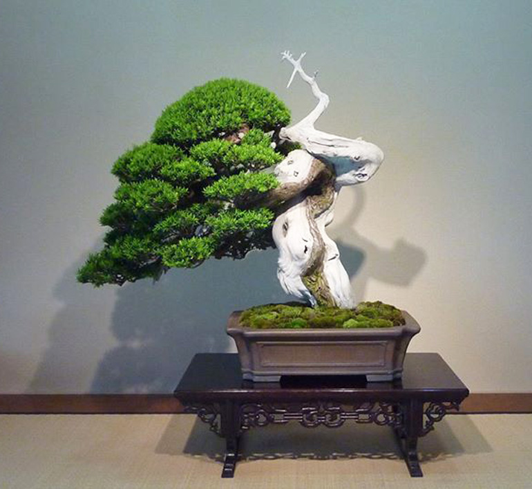 Magnificent Its Taxus Time Bonsai Bark Wiring Digital Resources Honesemecshebarightsorg