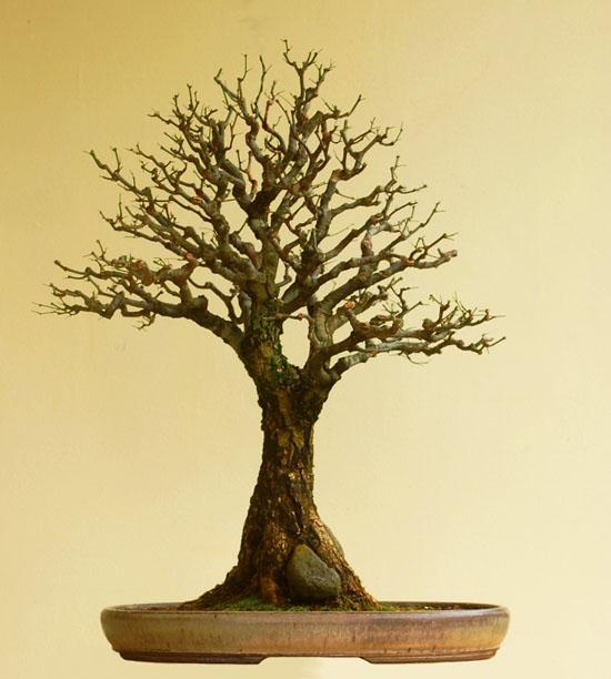 Acacia Bonsai Bark