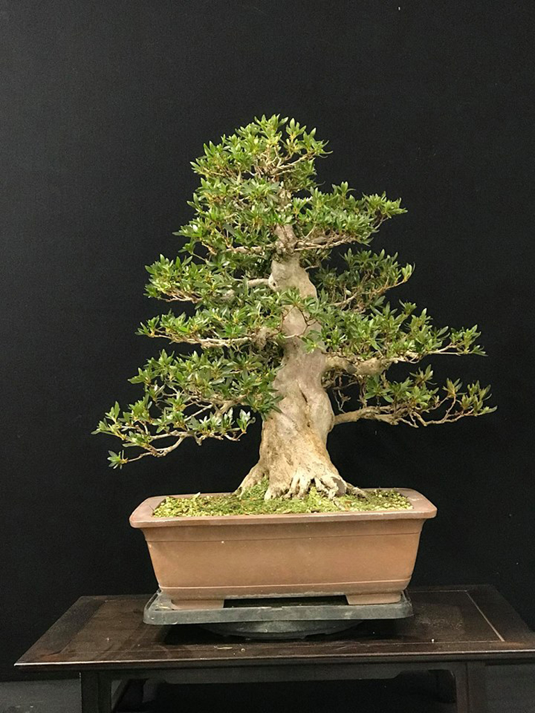 Bonsai Boon With And Without Flowers Bonsai Bark