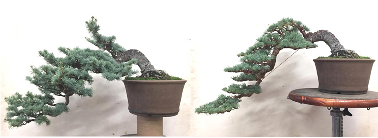 A Superb Atlas Cedar Before After Bonsai Bonsai Bark