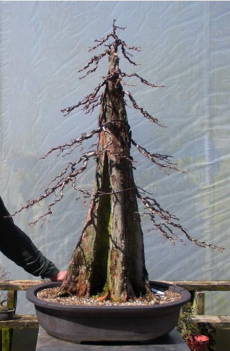 baldcypress   Bonsai Bark