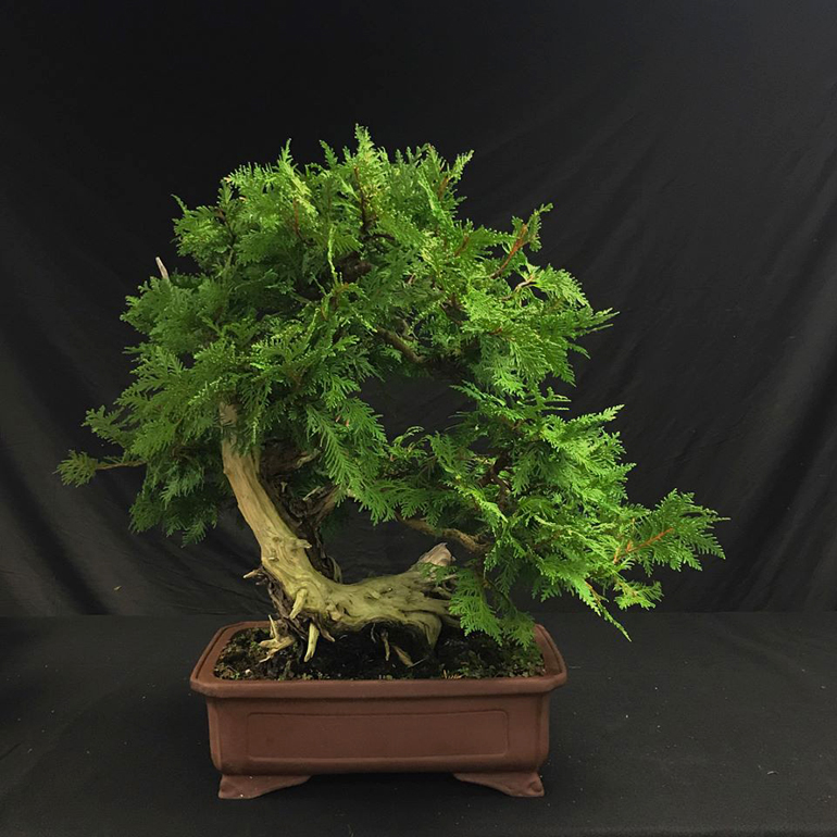 Pleasant Two Splendid Cedar Bonsai Bonsai Bark Wiring Digital Resources Funapmognl