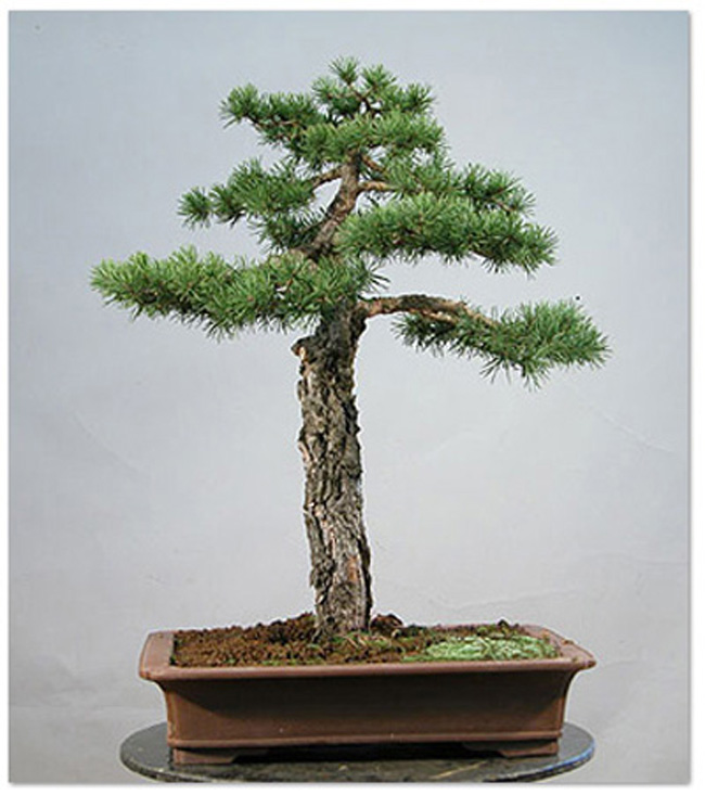 Shaping Bonsai With Rebar Turnbuckles Stones Wire Everything But The Kitchen Sink Bonsai Bark