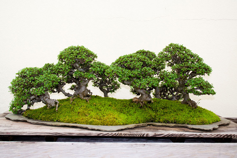 bonsai-chineseelmforest01