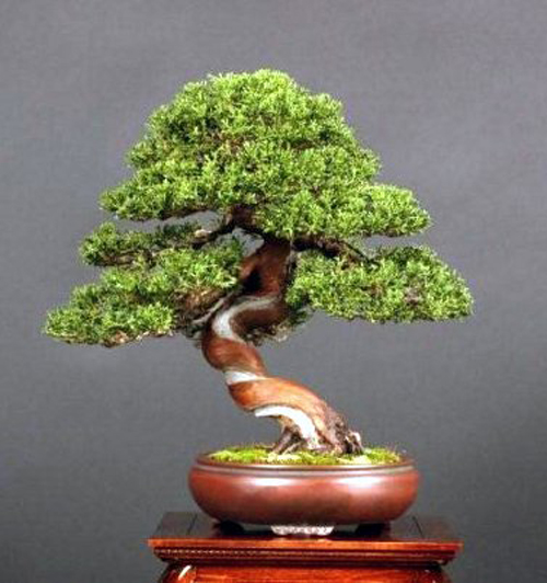 tree pot bonsai bonsai bark. Black Bedroom Furniture Sets. Home Design Ideas