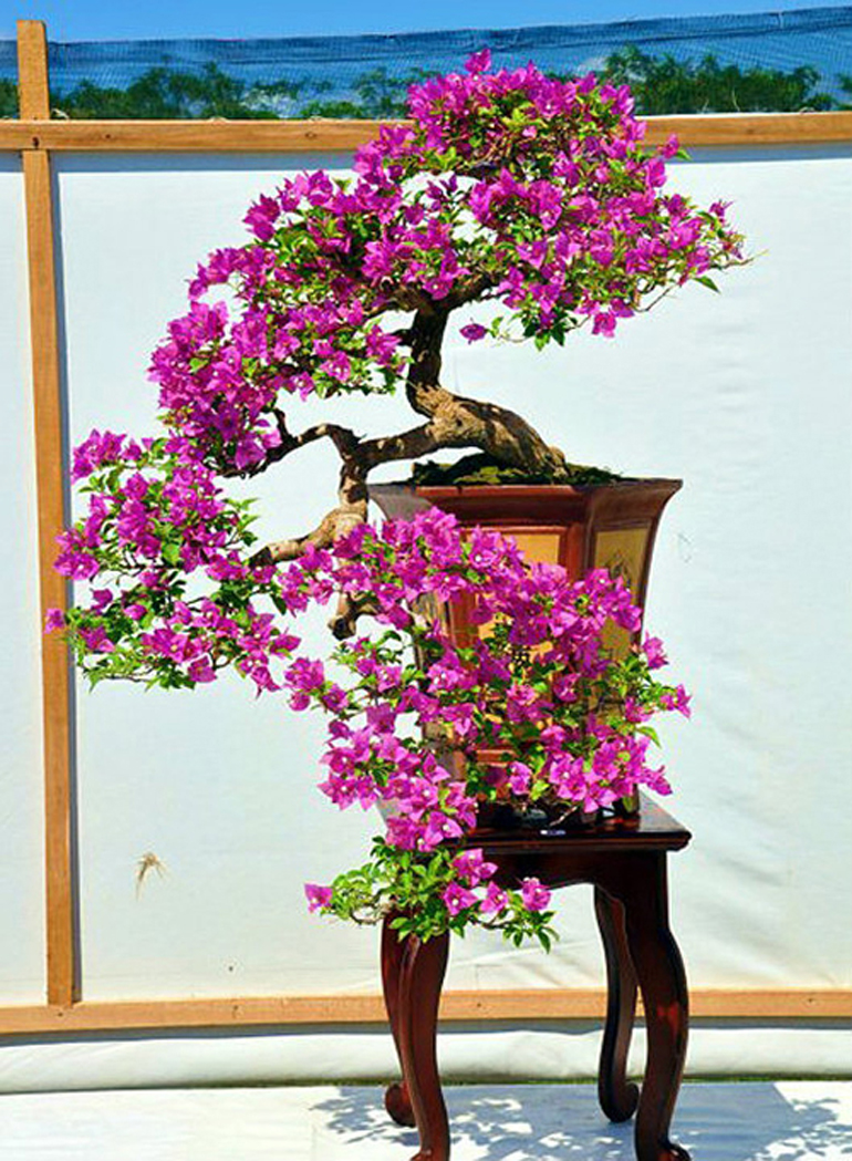 Brilliant bonsai bougainvillea bracts bonsai bark for Arbustos en jardines