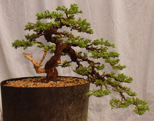 Bonsai From Nursery Stock Part Four 6 7 09