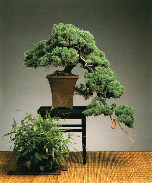 Juniper Bonsai Suitable for Indoors  HelpfulGardenercom