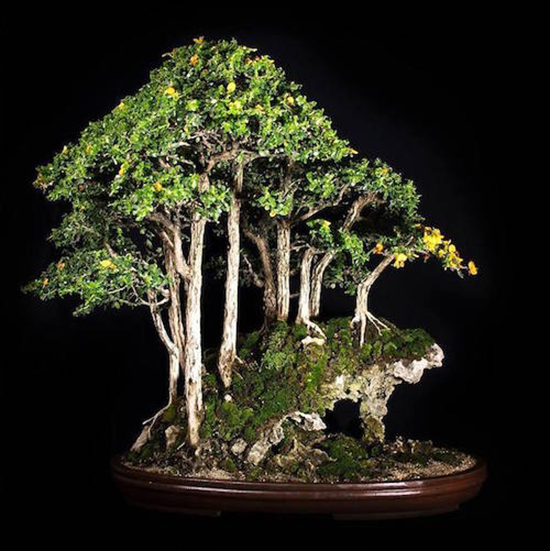 buxifolia-luisa-alfaro