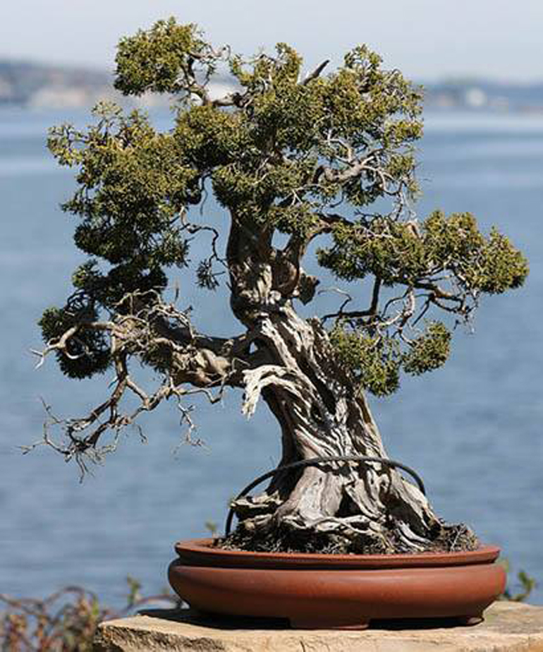 This One Also Appears On Bonsai Empire, But You May Have Seen It Elsewhere,  Including In Gnarly Branches, Ancient Trees And Right Here On Bonsai Bark.