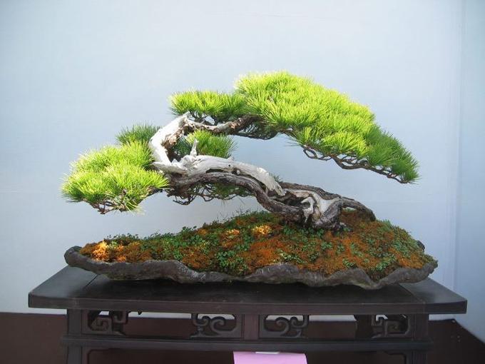 Eccentric bonsai pushing invisible boundaries bonsai bark for Unique bonsai trees