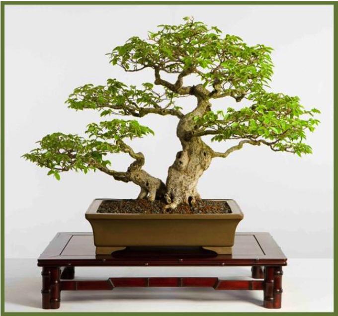 Explore The World Of Bonsai Humidity Heat Columbus Is Still In Ohio A Very Large Bonsai Tree Bonsai Bark