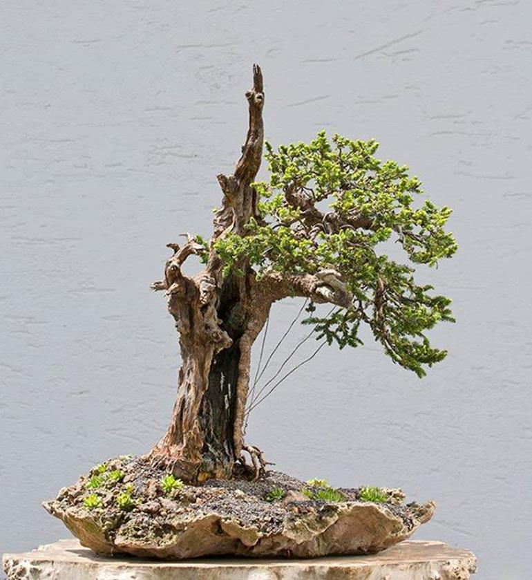 bonsai bark promoting and expanding the bonsai universe page 113 rh bonsaibark com Oak Bonsai Tree Best Bonsai Trees for Beginners