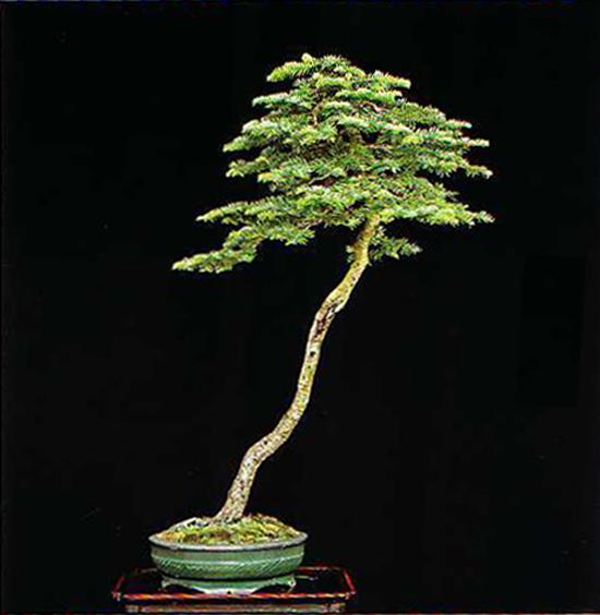 Bunjin bonsai bliss bonsai bark for Literati bonsai gallery