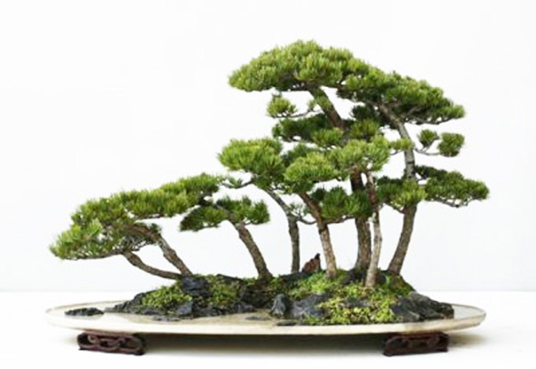 five_needle_pine3
