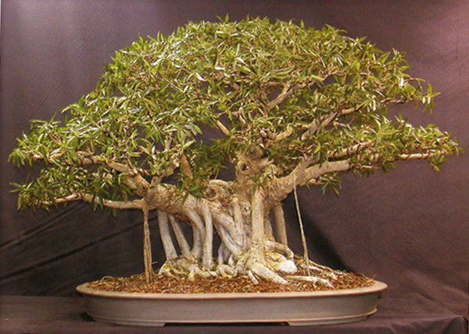 Bonsai On The Menu With Just A Little Value Added Bonsai Bark