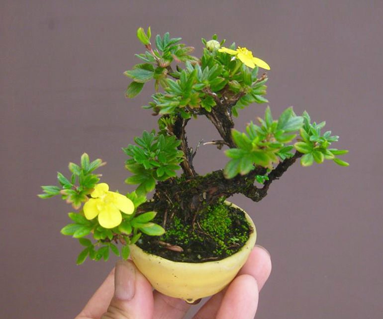 Tiny bonsai master bonsai bark bright yellow flowers and a light yellow pot makes for a soft contrast haruyosi doesnt identify this little gem but the flowers look a lot like mightylinksfo