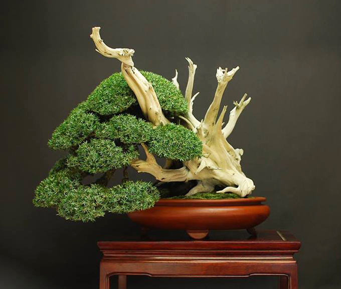circling back to needle junipers bonsai bark. Black Bedroom Furniture Sets. Home Design Ideas