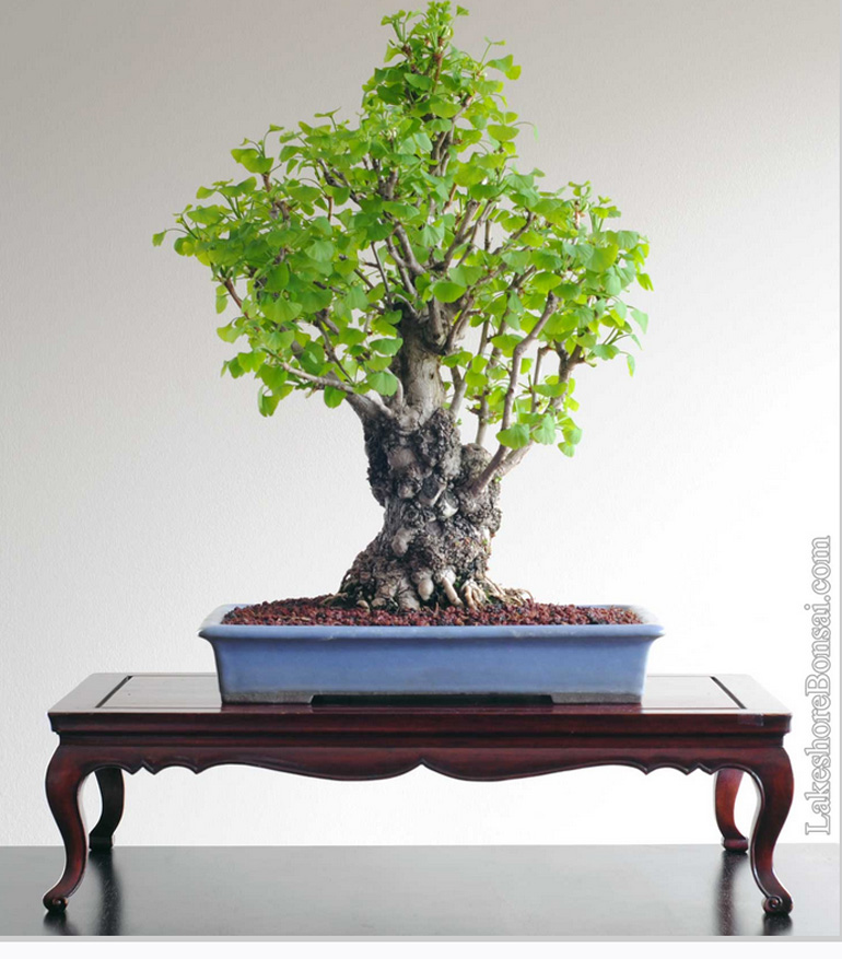 Episode 2 Of The Ginkgo Story Bonsai Bark