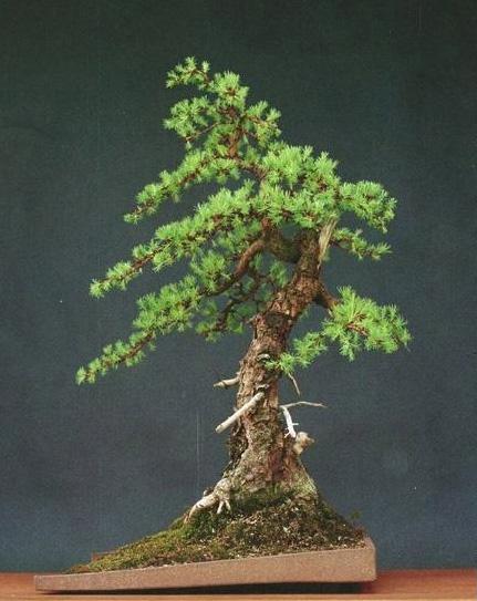 A most unusual bonsai artist bonsai bark for Unique bonsai trees