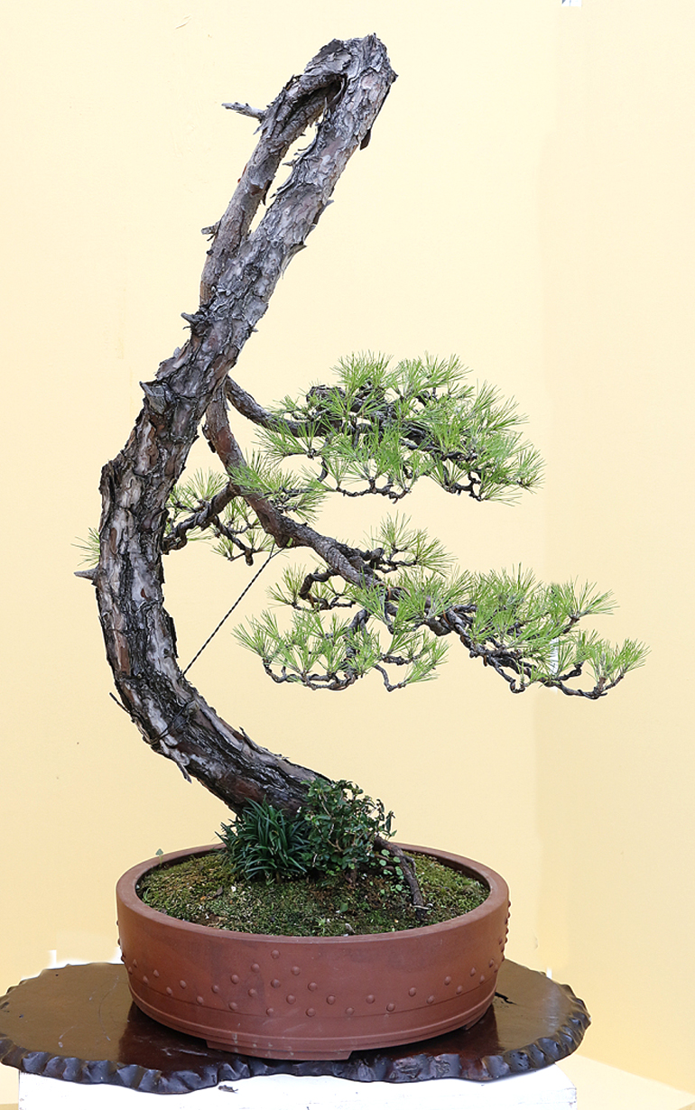 literati bonsai from the zhongguo feng penjing exhibition