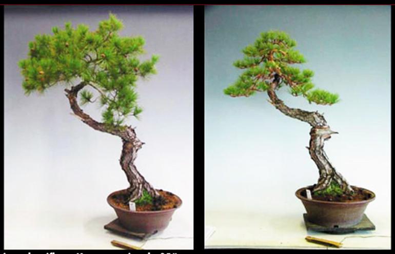 Before After Japanese Red Pine Bonsai Bonsai Bark