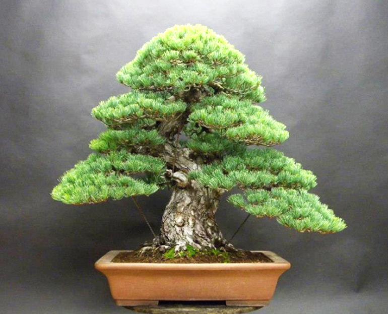 Japanese White Pine Bonsai Bonsai Bark