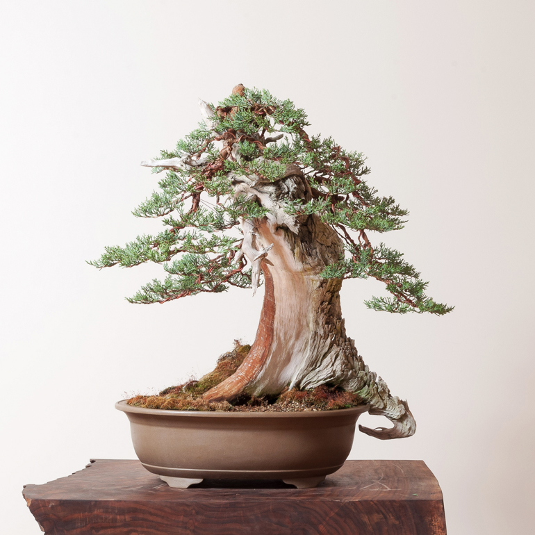 Bonsai Mirai Yamadori Why You Should Visit Portand This September Bonsai Bark