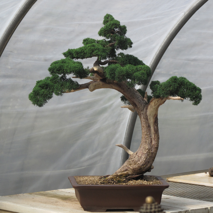 Stolen Bonsai Bonsai Bark