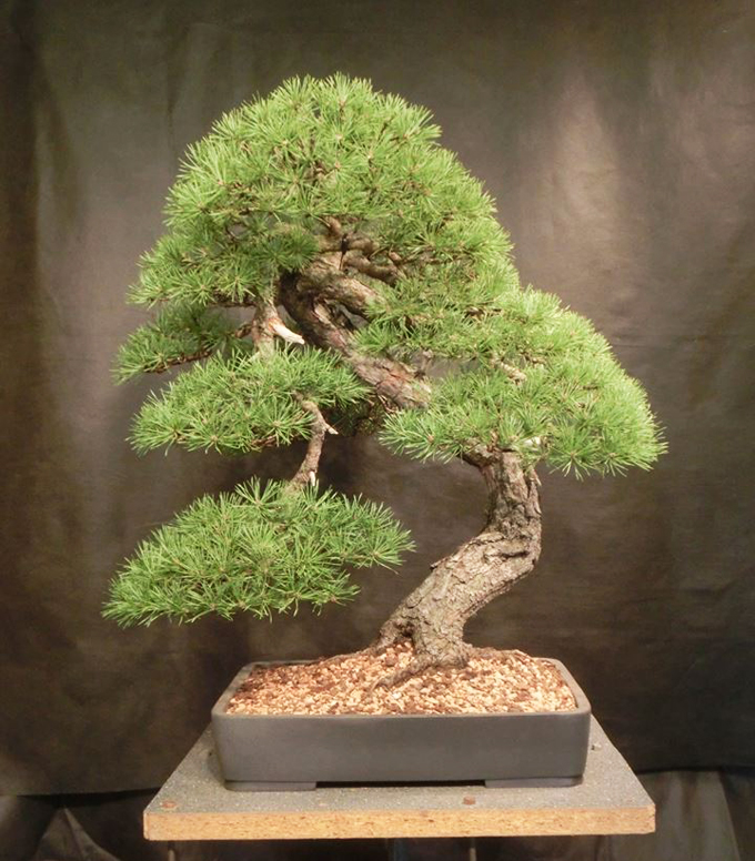 bonsai alert have you seen these trees bonsai bark. Black Bedroom Furniture Sets. Home Design Ideas