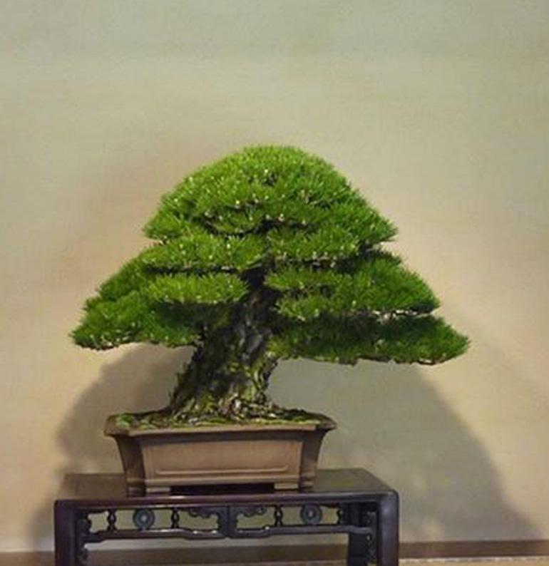 pinecrop