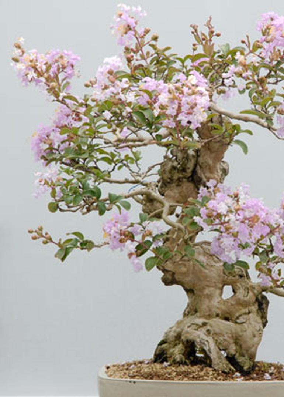 Celebrating Forty Years of Bonsai | Bonsai Bark