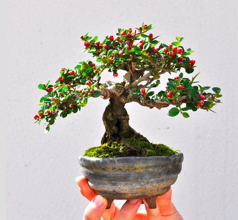 American Holly Tree Bonsai Bonsai Tree