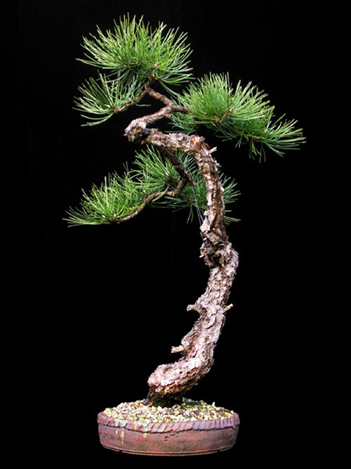 The Other Black Pine Bonsai Bark