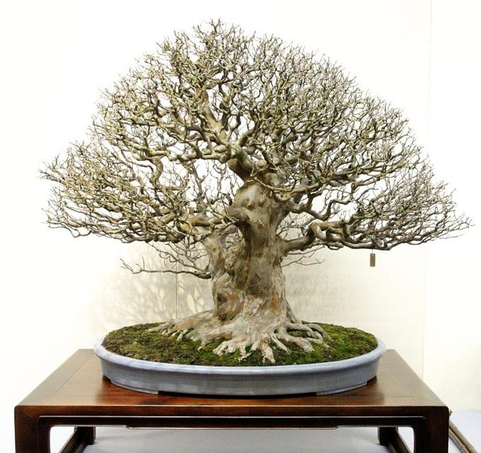 World Famous Masterpiece Bonsai Bonsai Bark