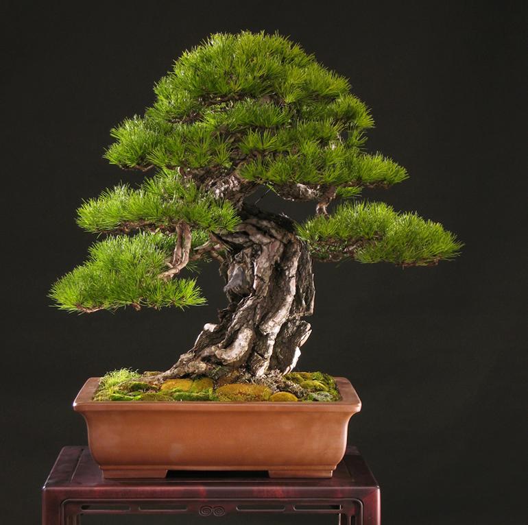 Outstanding Japanese Korean Red Pine Bonsai Bonsai Bark