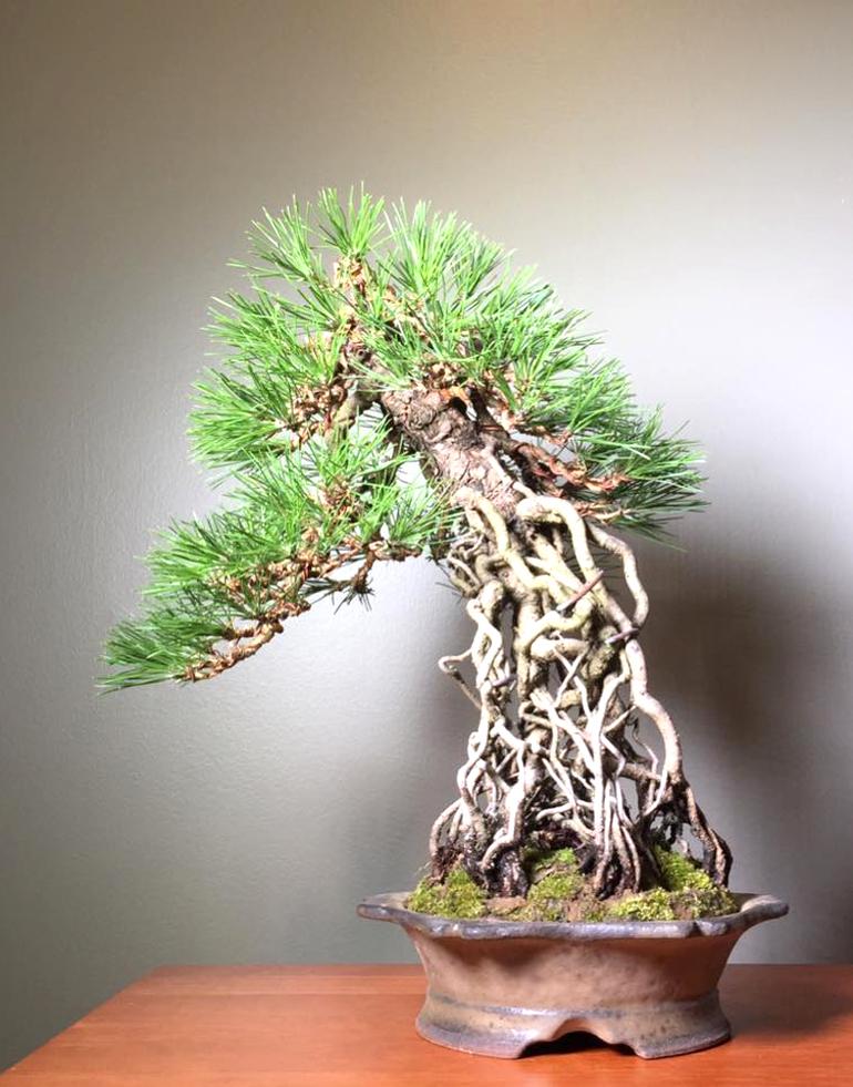 Japanese Black Pine Made In America Bonsai Bark