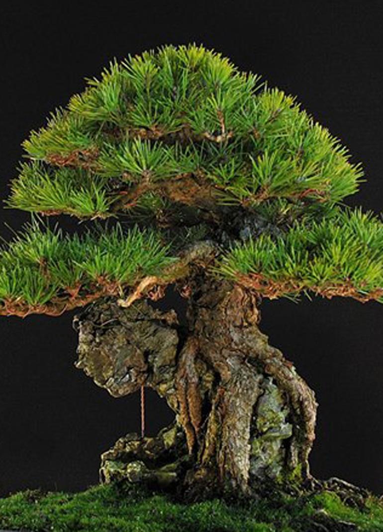 Before Amp After Root Over Rock Black Pine Bonsai Bonsai Bark