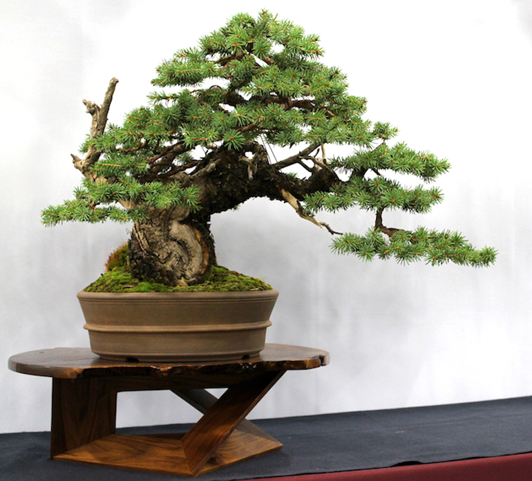 A Powerful Colorado Blue Spruce Bonsai Its Story Of Age Hardship Bonsai Bark