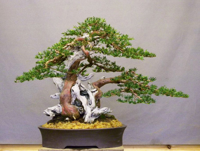 It S All About Yew Bonsai Bark