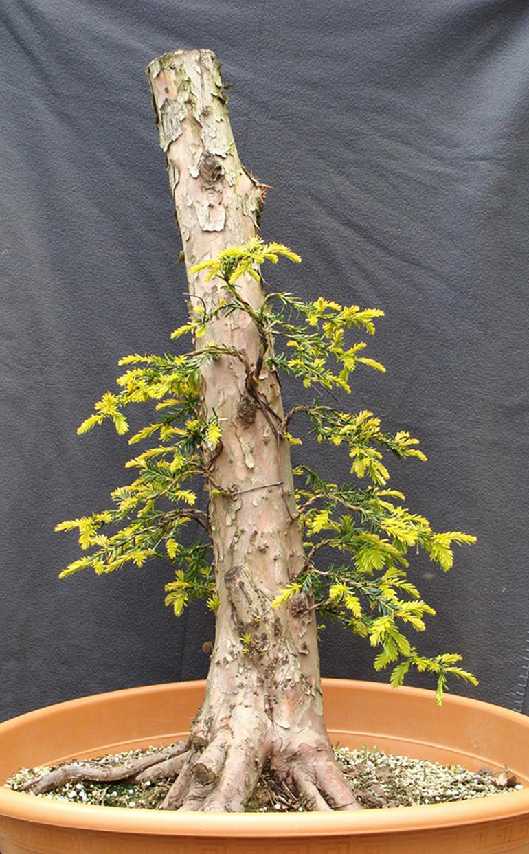 Bonsai Bark Promoting And Expanding The Universe Page 31 Wiring Yew Before Now In Its Training Pot Just A Slightly Tapered Trunk With Future Apex Few Very Young Branches Nebari That Has Some Possibilities But