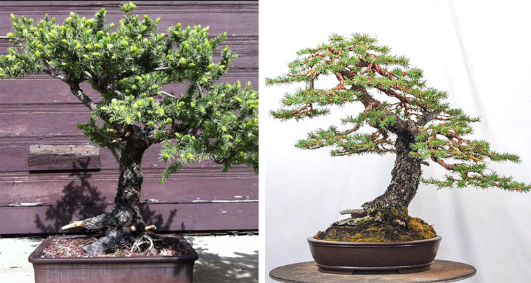 Colorado Blue Spruce Before After Bonsai Bark