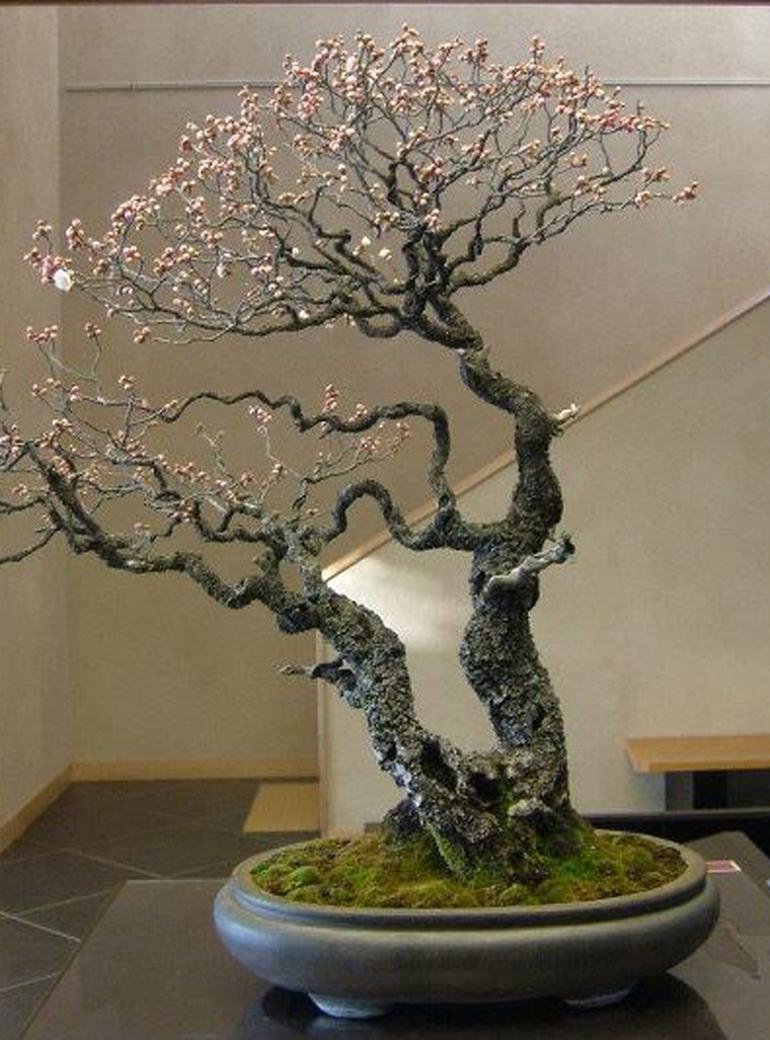 Ume Flowering Bonsai With Sabamaki Uro Bonsai Bark
