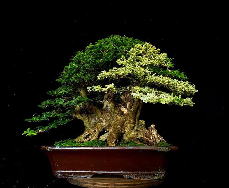 a very variegated unusual bonsai bonsai bark
