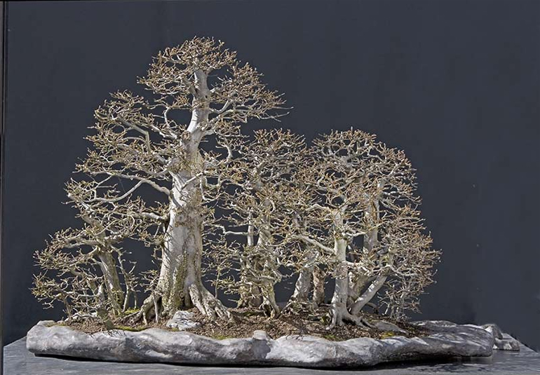 Walter S Massive Forest Other Hornbeam Bonsai Bonsai Bark
