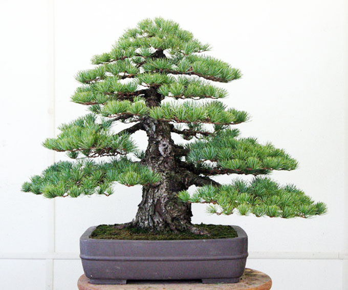 Japanese Whites | Bonsai Bark